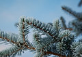 Winter frost on spruce tree close up shallow depth of field Stock Images