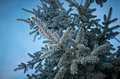 Winter frost on spruce tree close up shallow depth of field Stock Photos
