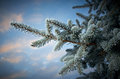 Winter frost on spruce tree close up shallow depth of field Royalty Free Stock Image
