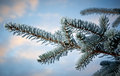Winter frost on spruce tree close up shallow depth of field Royalty Free Stock Photos