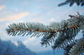 Winter frost on spruce tree close up shallow depth of field Royalty Free Stock Images