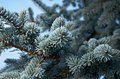 Winter frost on spruce tree close up shallow depth of field Stock Image