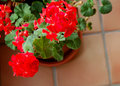 Winter Geraniums Royalty Free Stock Photos