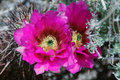 Winter hardy opuntia the also known as a prickly pear cactus pink flower Stock Photos