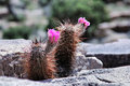 Winter hardy opuntia the also known as a prickly pear cactus pink flower cactus growing out of rock rub up against one of these Stock Photography