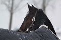 Winter horse looking back Royalty Free Stock Photo