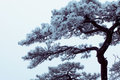 Winter Huangshan - Freezing Tree Stock Photo