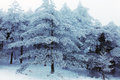 Winter Huangshan - Snow Trees Royalty Free Stock Photos