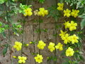 Winter jasmine with yellow flowers the of is openning when spring will be Royalty Free Stock Photo
