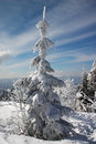 Winter land and fir trees Stock Images