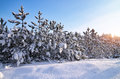 Winter landscape with firs. Composition of nature. Royalty Free Stock Photo