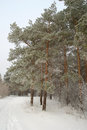 Winter landscape in forest with pines Stock Photography