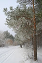 Winter landscape in forest with pines Royalty Free Stock Photo