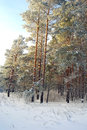 Winter landscape in forest with pines Royalty Free Stock Image