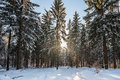 Winter landscape with fresh clean snow , sun and Christmas trees Royalty Free Stock Photo