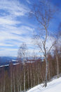 Winter landscape in mountains, snowy slope with birches in sunny day in wild Royalty Free Stock Photo
