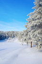 Winter landscape with pines hoarfrost covered Royalty Free Stock Photos
