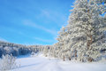 Winter landscape with pines hoarfrost covered Stock Images