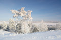 Winter landscape with pines snow covered Royalty Free Stock Photos