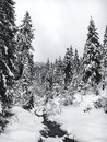 Winter landscape with river and snow covered pine trees in forest