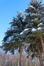 Winter landscape with snow covered fir-trees Stock Photos