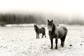 Winter landscape with two horses looking. Black and white Royalty Free Stock Photo
