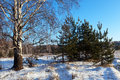 Winter lanscape with birch and pine trees in sunny day Royalty Free Stock Images