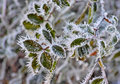 Winter Leaves Royalty Free Stock Photography
