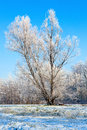 Winter lonely tree landscape with a covered with snow Royalty Free Stock Image
