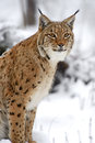 Winter luchs Stockbild