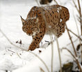 Winter lynx wild in the forest Royalty Free Stock Photos