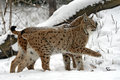Winter lynx wild in the forest Stock Photos