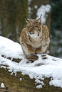 Winter lynx wild in the forest Stock Photography