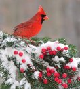 Winter male northern cardinal a beautiful cardinalis cardinalis on a festive spruce bough full of bright red berries Stock Image