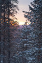 Winter morning /  pine, sunlight and snow Stock Photos