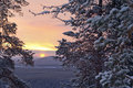 Winter morning / pine, sunlight and snow Royalty Free Stock Photo
