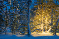 Winter night  in forest and Christmas tree glowing lights Royalty Free Stock Photo