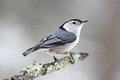 Winter Nuthatch Royalty Free Stock Photo