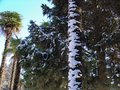 Winter, Palm Trees In Snow