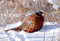 Winter Pheasant Stock Images