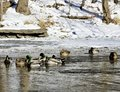 Cold Flock of Mallards Royalty Free Stock Photo