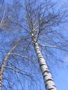 Winter pictures snow covered tree stock photos birch branches on blue sky background Stock Photography