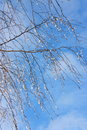 Winter pictures tree icy drops stock photos birch with on blue sky background Royalty Free Stock Image