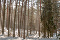 Winter pine forest conifer forest winter under snow Stock Photo