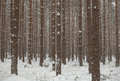 Winter pine forest conifer forest winter under snow Stock Image