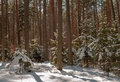 Winter pine forest conifer forest winter under snow Royalty Free Stock Images