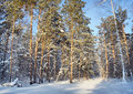 In the winter pine forest landscape Stock Photos