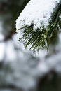 Winter pine forest snow Stock Image