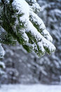 Winter pine forest in the snow Royalty Free Stock Images