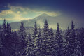 Winter pine mountain forest. Fresh snow on the trees. Royalty Free Stock Photo